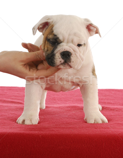 show puppy Stock photo © willeecole