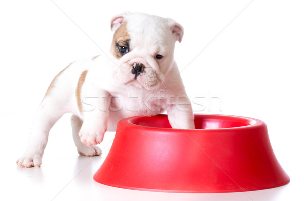 Hambriento cachorro bulldog pie dentro Foto stock © willeecole