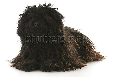 cute dog Stock photo © willeecole