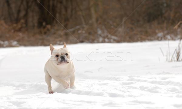 Stock fotó: Kutya · játszik · hó · francia · bulldog · férfi