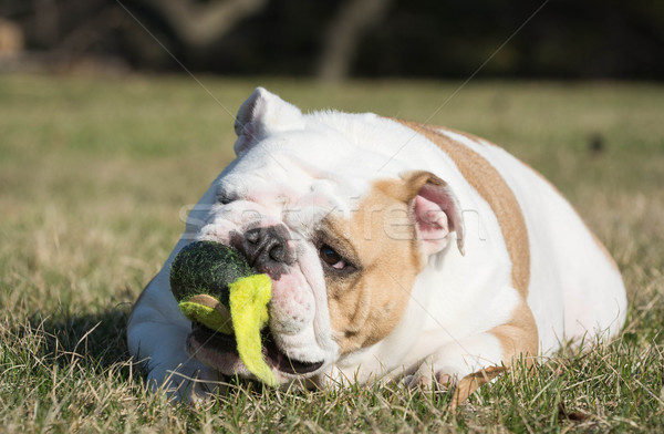 dog playing with ball Stock photo © willeecole