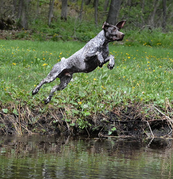 dog jumping in the river Stock photo © willeecole