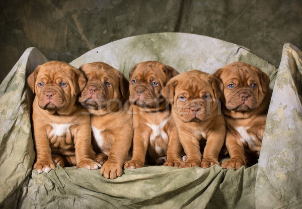Foto stock: Cachorros · nina · bebé · perro · azul