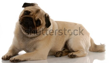 Engels bulhond puppy witte studio Stockfoto © willeecole