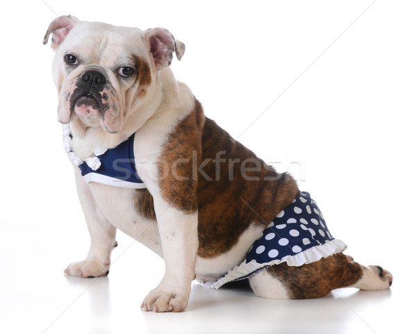 Chien maillot de bain blanche bikini chapeau Photo stock © willeecole