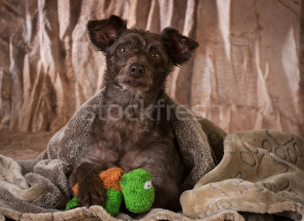 dog under a blanket  Stock photo © willeecole