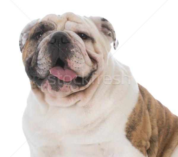 Zdjęcia stock: Mężczyzna · angielski · bulldog · biały · psa · usta