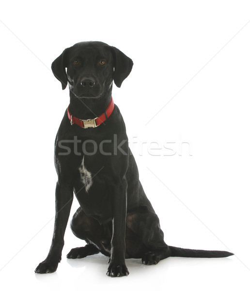 Stock photo: black lab cross