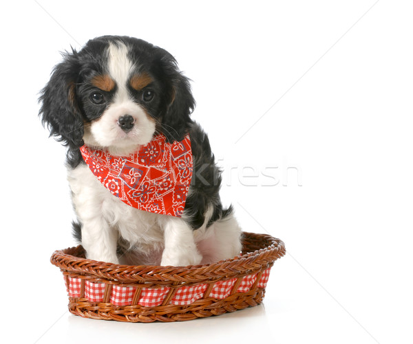 spaniel puppy Stock photo © willeecole
