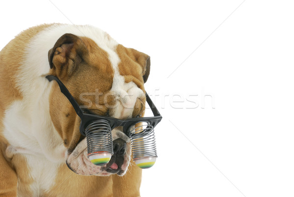 Puppy grappig bril hond Engels Stockfoto © willeecole