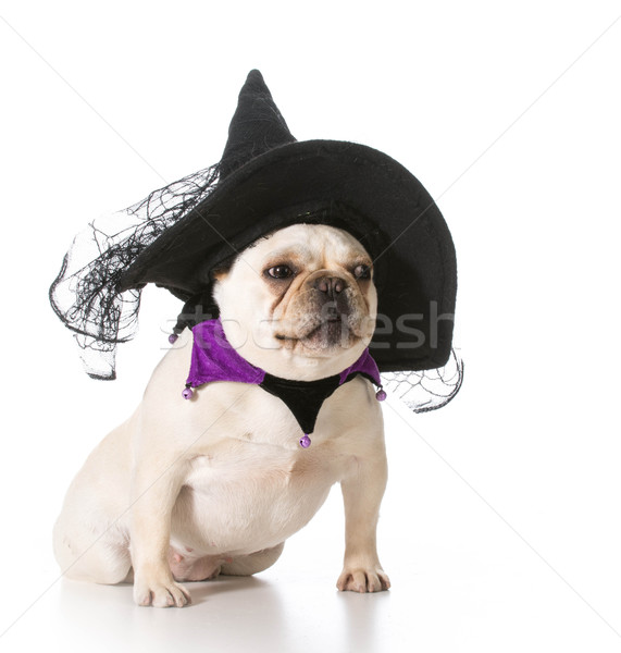 dog dressed like a witch Stock photo © willeecole