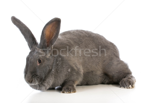 giant flemish bunny Stock photo © willeecole