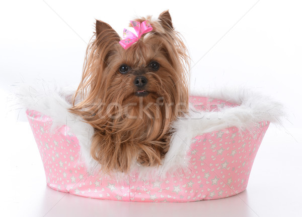 yorkshire terrier female in a dog bed Stock photo © willeecole