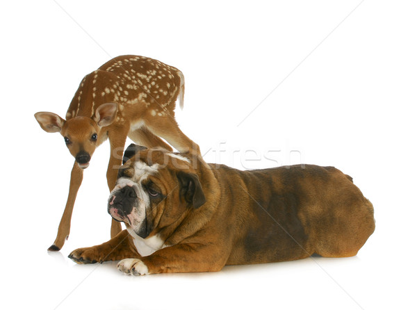 dog and deer Stock photo © willeecole