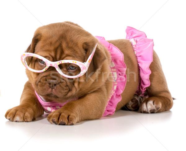 dog in bikini Stock photo © willeecole
