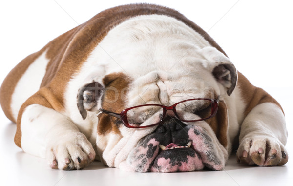 smart dog Stock photo © willeecole