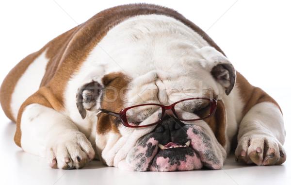 Okos kutya visel olvasószemüveg fehér angol Stock fotó © willeecole