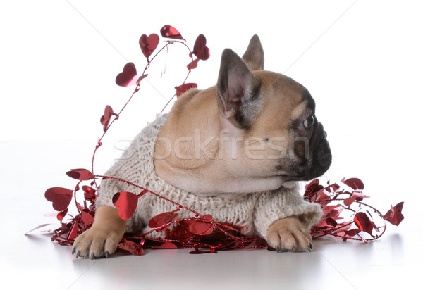 valentine's day puppy Stock photo © willeecole