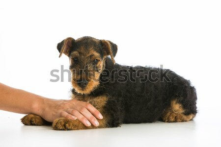 Сток-фото: собака · миниатюрный · такса · стороны · портрет · белый
