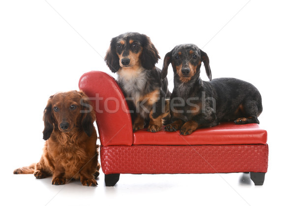 three dachshunds on a couch Stock photo © willeecole