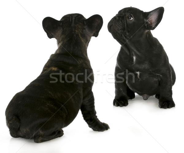 Twee frans bulldog puppies geïsoleerd Stockfoto © willeecole
