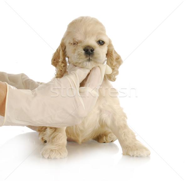 Veeartsenijkundig zorg puppy een week oog Stockfoto © willeecole