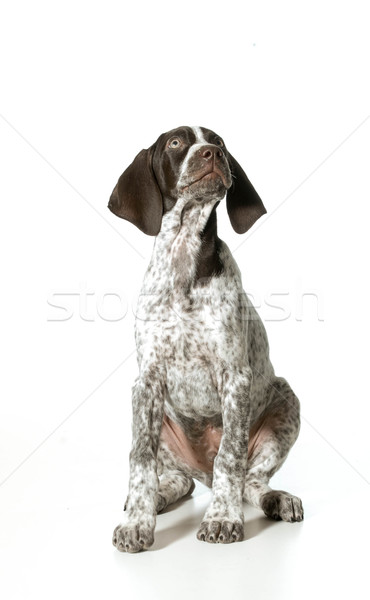 german shorthaired pointer puppy Stock photo © willeecole