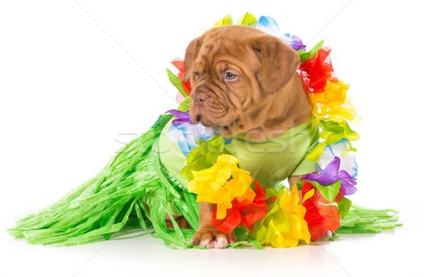 Stock photo: hula dog