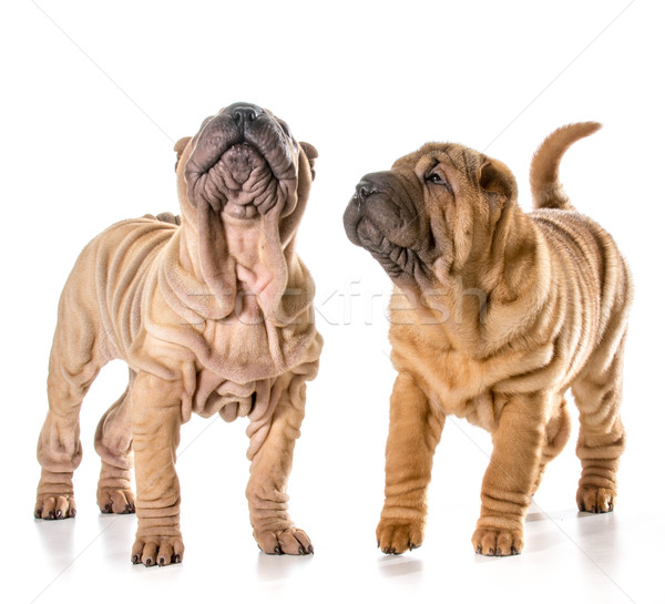 two chinese shar pei puppies Stock photo © willeecole