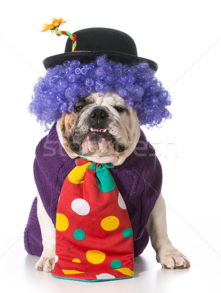 Stupide chien clown costume blanche Photo stock © willeecole