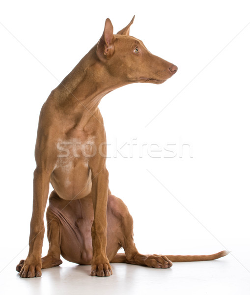 pharaoh hound Stock photo © willeecole