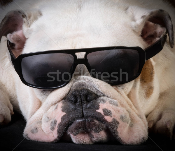 cool hound Stock photo © willeecole
