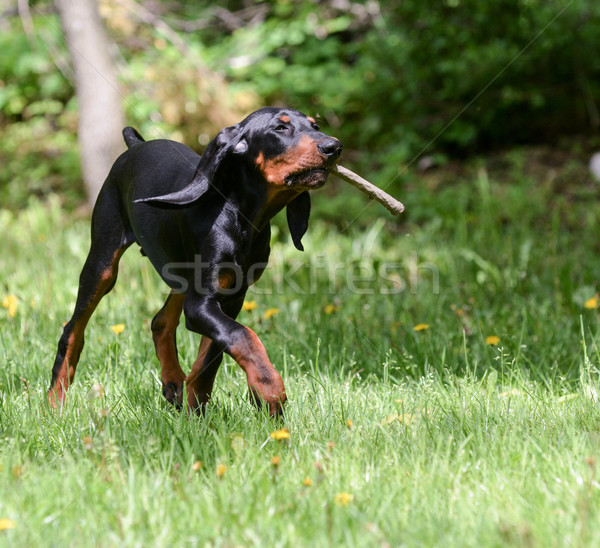dog playing fetch Stock photo © willeecole