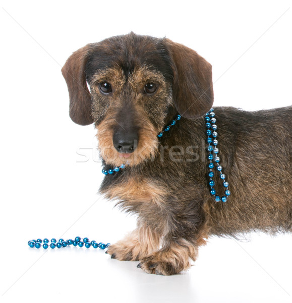 Kutya visel nyaklánc miniatűr tacskó divat Stock fotó © willeecole