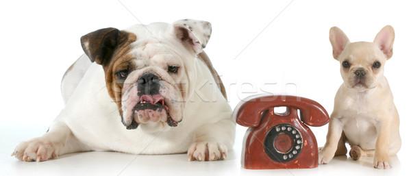 Stock fotó: Kutya · kommunikáció · angol · francia · bulldog · telefon