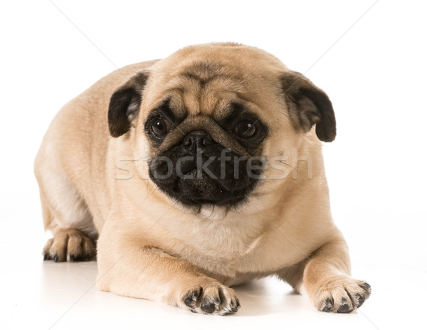 pug laying down Stock photo © willeecole