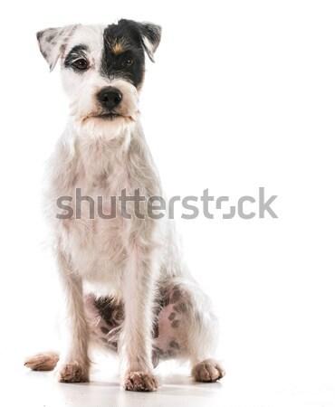 Terrier sessão retrato branco animal de estimação bonitinho Foto stock © willeecole