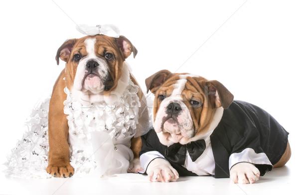 Hond bruid bruidegom puppies bruiloft grappig Stockfoto © willeecole
