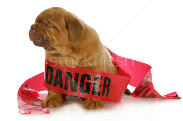 Mauvais chiot up danger bande Photo stock © willeecole