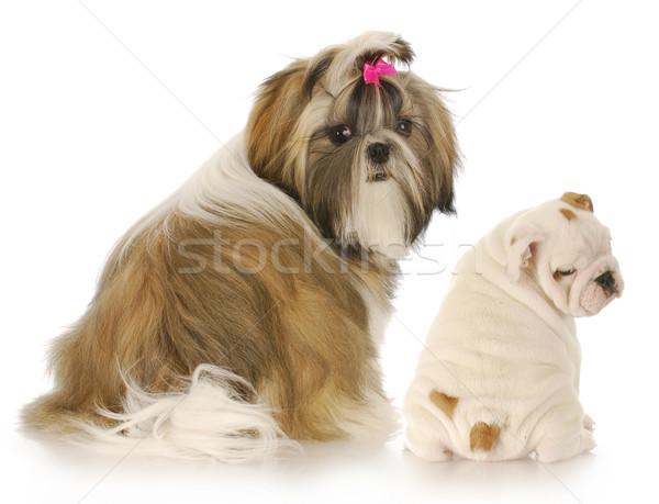 Twee puppies Engels bulldog naar schouder Stockfoto © willeecole