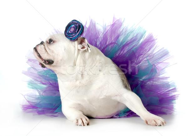 Stock fotó: Kutya · angol · bulldog · felfelé · visel · izolált