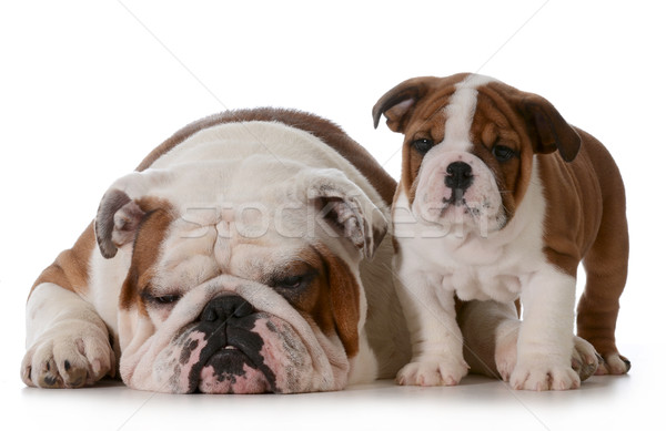 bulldog family Stock photo © willeecole