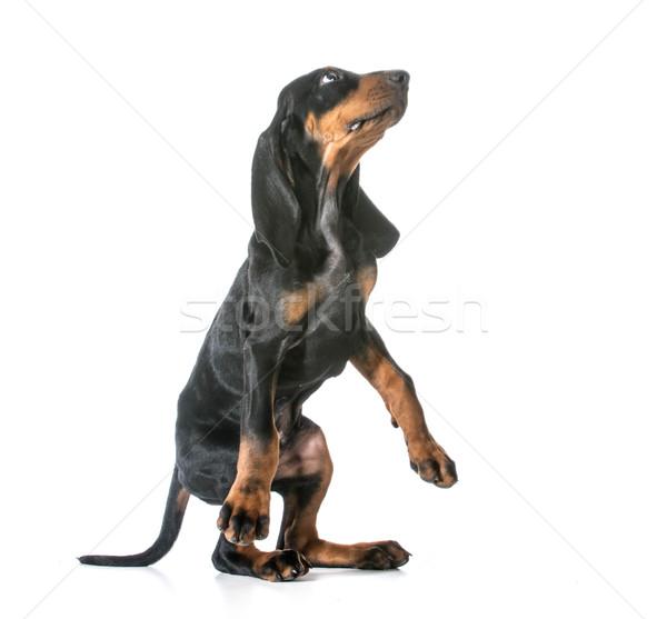 dog begging Stock photo © willeecole