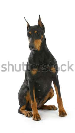 doberman pinscher sitting Stock photo © willeecole