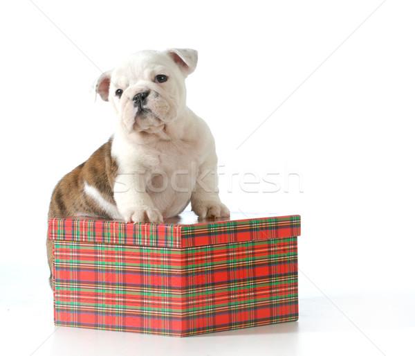 Cachorro presente Inglés bulldog pie Navidad Foto stock © willeecole