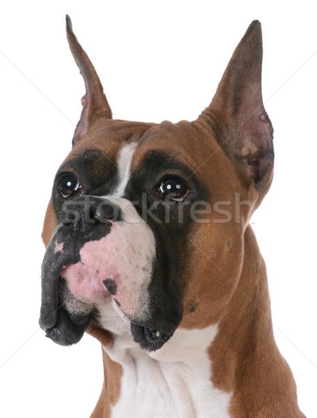 purebred boxer Stock photo © willeecole