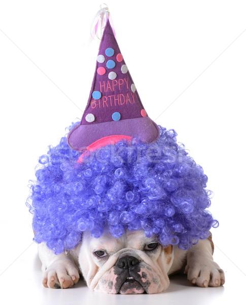 Compleanno cane bulldog indossare clown parrucca Foto d'archivio © willeecole