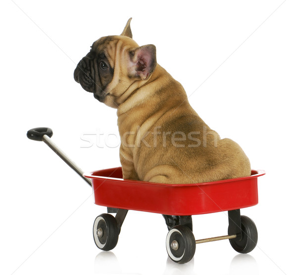 puppy in a wagon Stock photo © willeecole