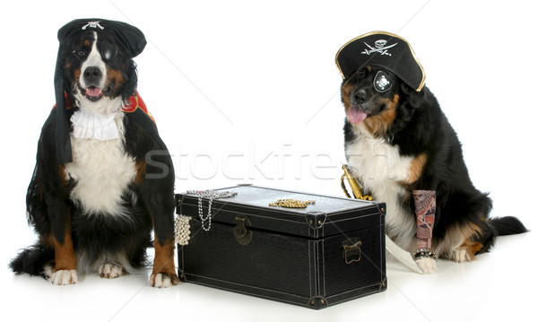 Deux pirates montagne chiens up comme Photo stock © willeecole