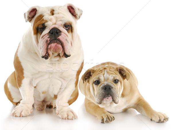 Iki köpekler İngilizce yansıma beyaz doğa Stok fotoğraf © willeecole